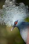 Southern Crowned Pigeon (Goura scheepmakeri) from dry and flooded rainforest areas in southern New Guinea (captive).