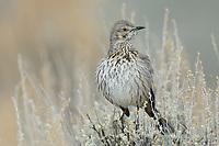 Sage Thrasher (Oreoscoptes montanus). Sublette County, Wyoming. April.
