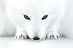 Piercing orange eyes of artic fox stand out in snowy landscape by Joe Shutter