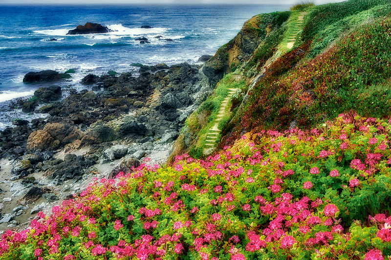 Wild Geraniums and path to ocean. Sonoma County. Claifornia