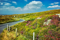 Road and fence with wildflowers. Sky Loop Road. Clifden, Ireland