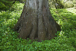 CUPRESSUS SP., FLARED BASE OF CYPRESS TREE