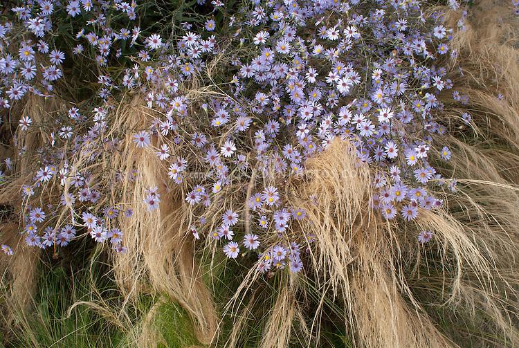 Aster turbinellus with ornamental grass need id