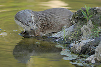 European Otter (lutra lutra), adult captive, Zuerich, Switzerland