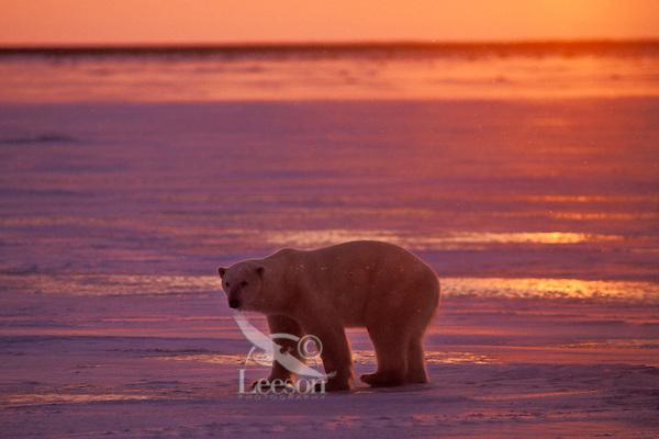 Polar Bear. Hudson Bay, sunset.  Late November.