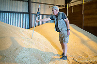 Checking grain temperature in store - Lincolnshire; August