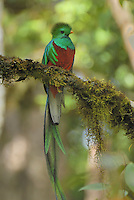 Resplendent Quetzal (Pharomachrus mocinno), male perched on a lichen covered branch, Cierro La Muerte, Costa Rica.