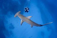 A videographer shoots a great hammerhead shark (Sphyrna mokarran) from below, Little Bahama Bank, Bahamas, Caribbean, Atlantic