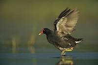 Common Moorhen, Gallinula chloropus,adult, Welder Wildlife Refuge, Sinton, Texas, USA