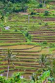 rizières de Jatiluwih
