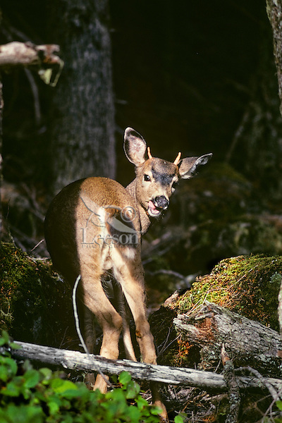 Young Black-tail Deer buck.  Pacific Northwest.  Fall.