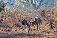 africa, Zambia, South Luangwa National Park,  Kudu male fight