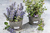 Günsel und Gundermann, Ernte, gesammelte Pflanzen in einem Eimer. Kriechender Günsel, Ajuga reptans, bugle, blue bugle, bugleherb, bugleweed, carpetweed, carpet bungleweed, common bugle, La bugle rampante. Gewöhnlicher Gundermann, Efeublättriger Gundermann, Glechoma hederacea, Alehoof, Ground Ivy, Lierre terrestre