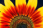 Single cultivated sunflower