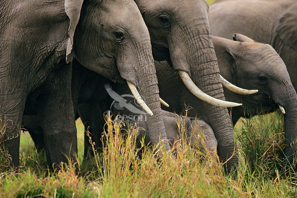 African Elephants--part of a cow/calf herd.  Africa.