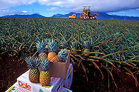 Harvested pineapples from the Dole pineapple fields in Wahiawa, with a harvesting machine and workers in the background
