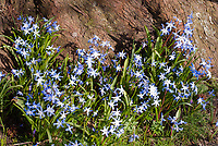 Chionodoxa sardensis spring bulbs with blue flowers