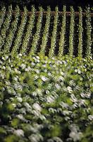 Europe/France/Bourgogne/21/Côte d'Or/Chassagne Montrachet: Le vignoble
