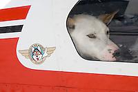 Dropped sled dog waits to unload from Russ Dunlaps plane @ Unalakleet 2006 Iditarod Western AK Winter