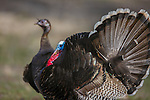 A tom turkey displaying his tail feathers and wattle during the mating season in western Montana.