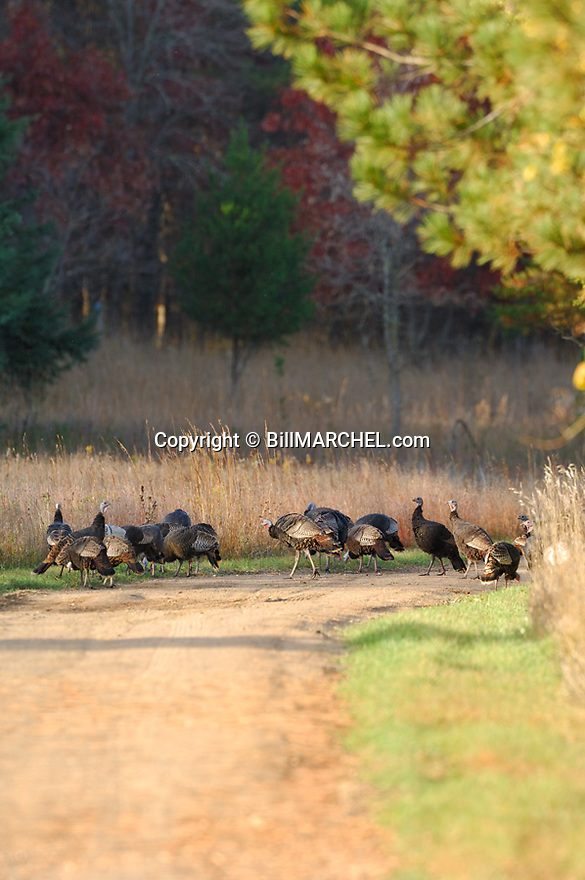 01225-088.20 Wild Turkey flock of eastern birds are feeding along country road during fall.  Flock contains partially white birds. V1E1
