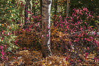 Aspen and colorful mountain foliage in Fall