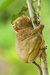 Adult Western or Horsfield's Tarsier (Tarsius [Cephalopachus] bancanus borneanus). Lowland dipterocarp rain forest, Danum Valley, Sabah, Borneo.