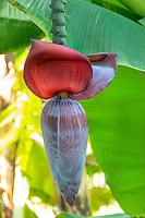 Banana Blossom<br /> St. John