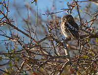 We were fortunate to have a couple sightings of the African Barred Owlet on this trip.<br /> <br /> Photo © Jennifer Waugh