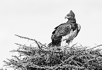 The Martial eagle is one of the world's largest eagles.