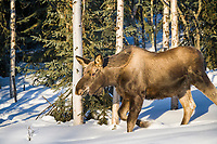 Young moose walks through the boreal forest in winter, Fairbanks, Alaska.