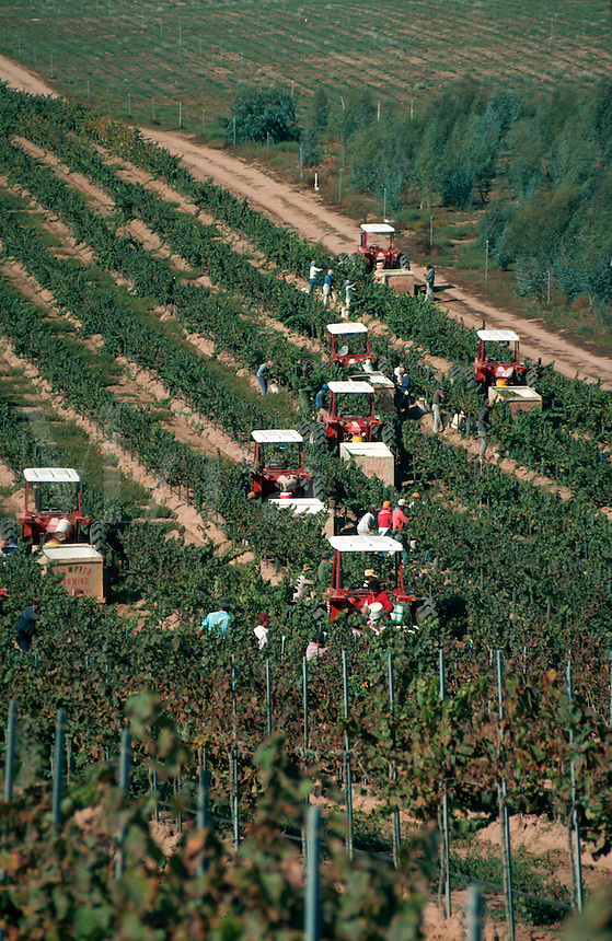 Aerial view of workers harvesting grapes in vineyard, California
