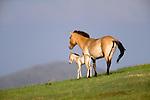 Przewalski's wild horse or takhi, Gorkhij-Terelj National Park, Mongolia