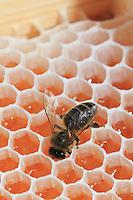 Heather honey with bees