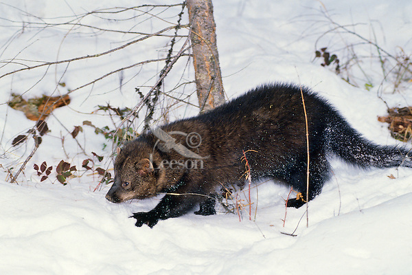 Fisher (Martes pennanti) in winter snow.  Northern Rockies.