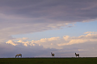 Zebras on Crescent Island in Lake Naivasha National Park, Kenya