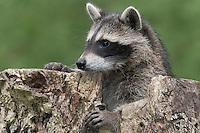 """Waschbär, etwa 3 Monate altes Jungtier in einer Baumhöhle, Höhle im Baum, Portrait, Porträt, Waschbaer, Wasch-Bär, Procyon lotor, Raccoon, Raton laveur, """"Frodo"""""""