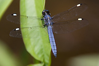 Spangled Skimmer (Libellula cyanea) Dragonfly - Male perching on a leaf, Ward Pound Ridge Reservation, Cross River, Westchester County, New York