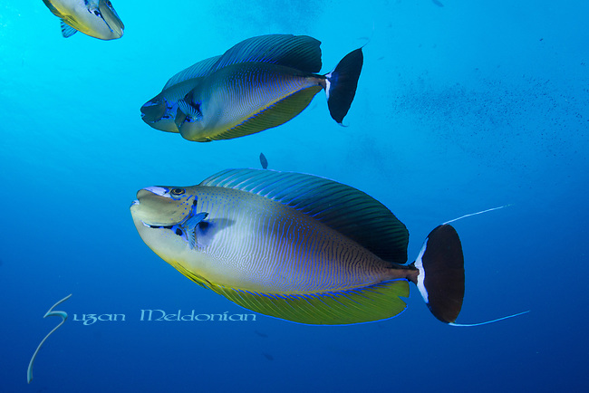 Bignose Unicornfish, Naso vlamingii