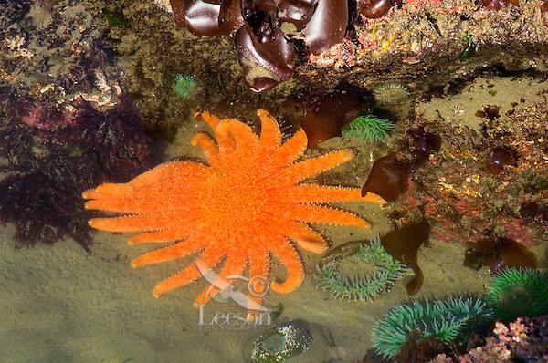 Sunflower Star(Pycnopodia helianthoides) in Oregon coast tidepool.