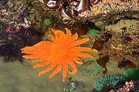 Sunflower Star (Pycnopodia helianthoides) in Oregon coast tidepool.