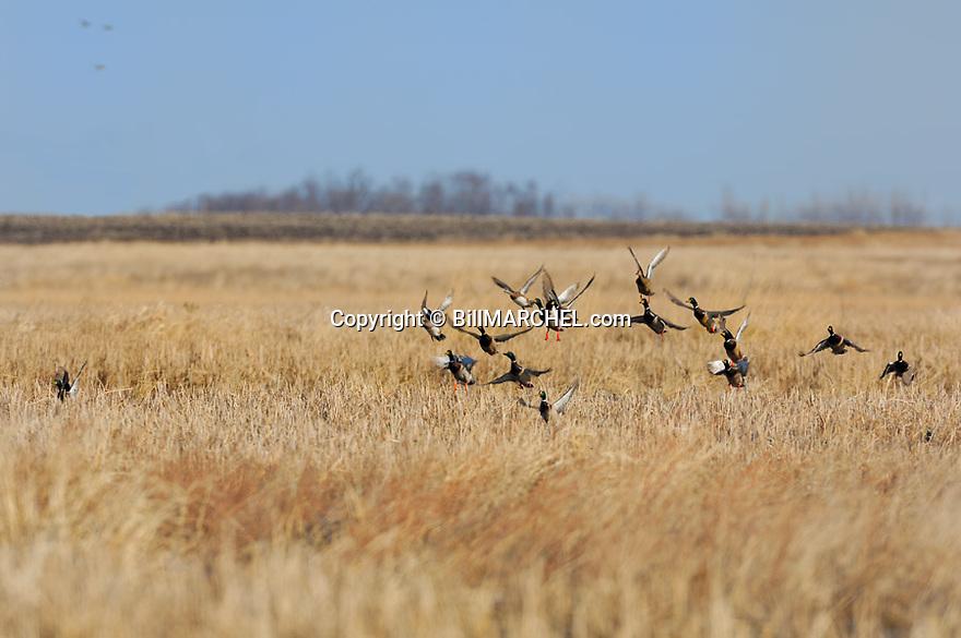 00330-072.14 Mallard Duck (DIGITAL) flock and wigeons are taking flight from marsh.  Hunt, waterfowl, action, wetland.  H1F1