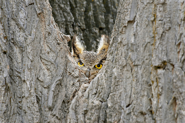 Great Horned Owl (Bubo virginianus) watches from the crook of a tree.  Oregon, spring.