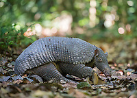 This may go down as the most elusive medium-to-large mammal I'll ever see. Typically giant armadillo sightings only occur at night, and often only in pictures taken by trail cams. We had the incredible fortune of seeing this one during the day, and it posed for photos! This male is likely part of a courting pair, as two members of our group saw a second giant armadillo briefly farther down the trail.