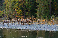 Roosevelt Elk herd (Cervus canadensis roosevelti) along Quinault River in Olympic National Park, WA.  The Quinault is one of the western rain forest river valleys in Olympic National Park.  Oct-Nov.