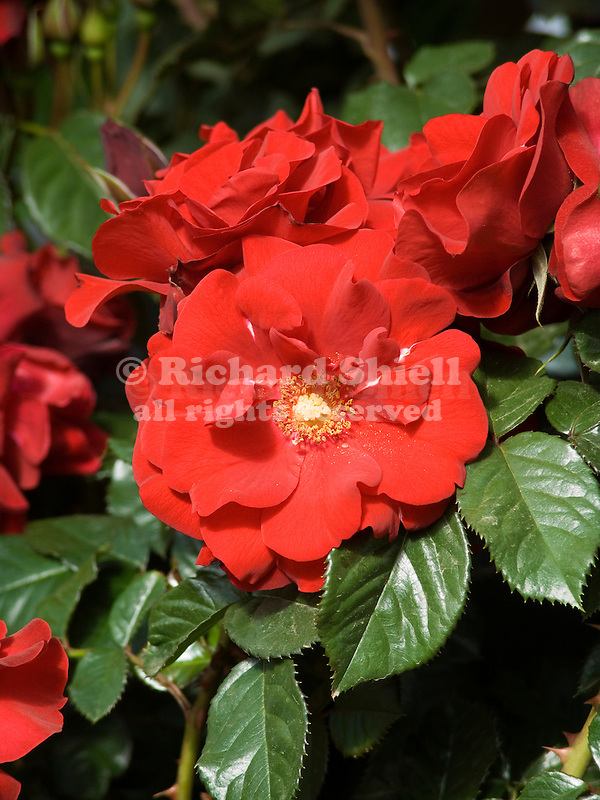 Salsa Rose, Rosa hybrid, floribunda