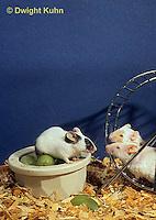 MU60-068z  Pet mouse - exploring