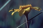San Juan Islands; wildflowers; Wooly Sunflower Eriophyllum lanatum, Non-descript insect labors, Yellow Island, Nature Conservancy Preserve; Washington State, Pacific Northwest, U.S.A.,