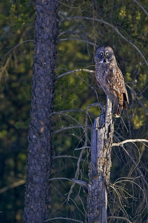 Great Grey Owl perched on top of a snag