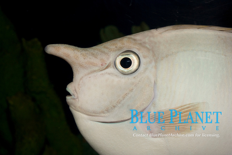 Spotted Unicornfish (Naso brevirostris) (c) Photo of uniquely shaped horn on its head.